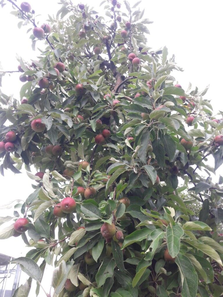 Obstgehölze